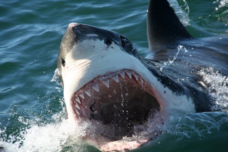 Images Of Sharks gansbaai-great-white-sharks-1