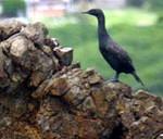Bank Cormorant