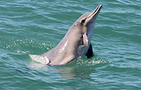 bottlenose-dolphin-thumbnail