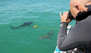 Great White Shark Internship South Africa