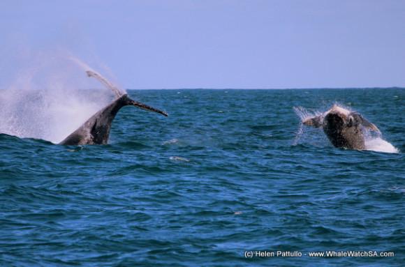humpback mother calf