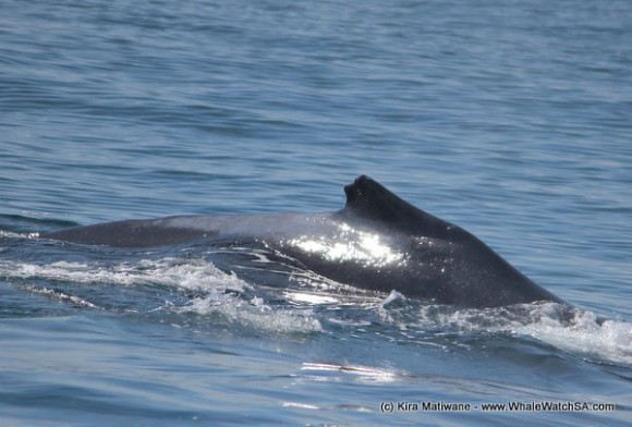 humpback injured dorsal