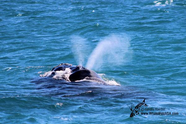 Whale Watching Big Island Tripadvisor