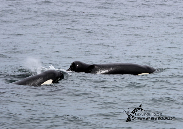 Killer Whales in Gansbaai, South Africa