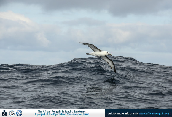 Indian Yellow nosed Albatross