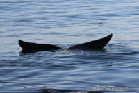 9 August 2016   Whale Watching Gansbaai