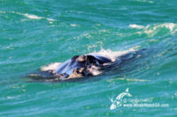16 August 2016 | Whale Watching Gansbaai