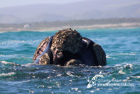25 August 2016 | Whale Watching Gansbaai