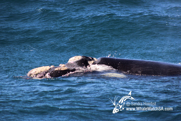 14 September 2016 | Boat Based Whale Watching - Dyer Island Cruises