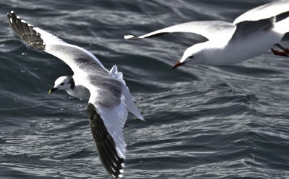 Pelagic Bird encounters, South Africa