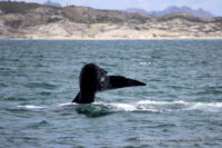 16 October 2016 | Whale Watching Gansbaai