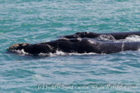 07 November 2016 | Whale Watching Gansbaai