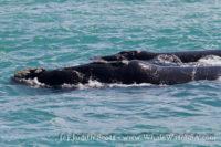 07 November 2016 | Whale Watching Gansbaai