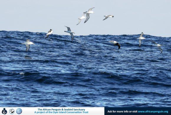 Dyer Island Cruises_Pelagic Birding Gansbaai_web2_20May17