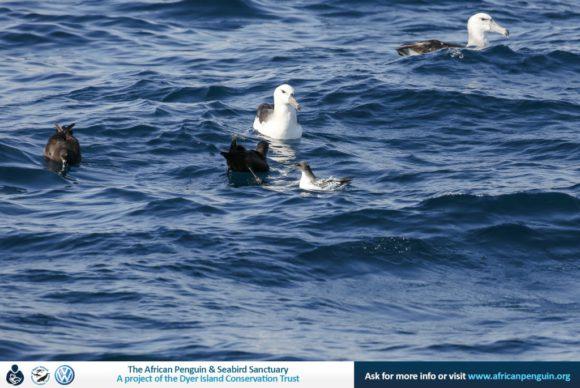 Dyer Island Cruises_Pelagic Birding Gansbaai_web5_20May17