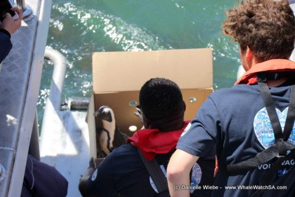 African Penguin release (3)