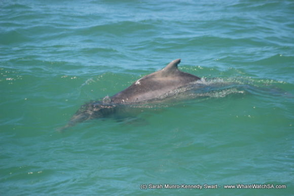 Dolphin (3)