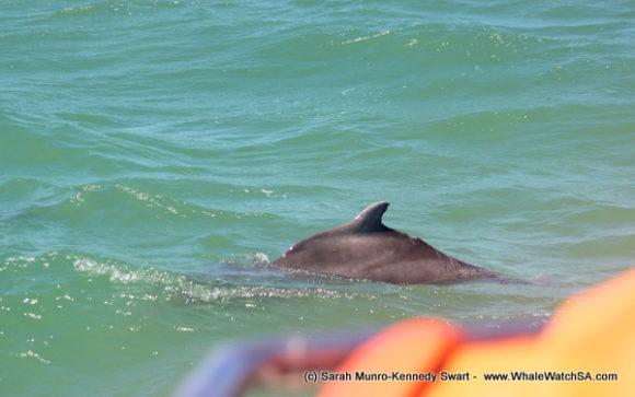 Dolphin (4)