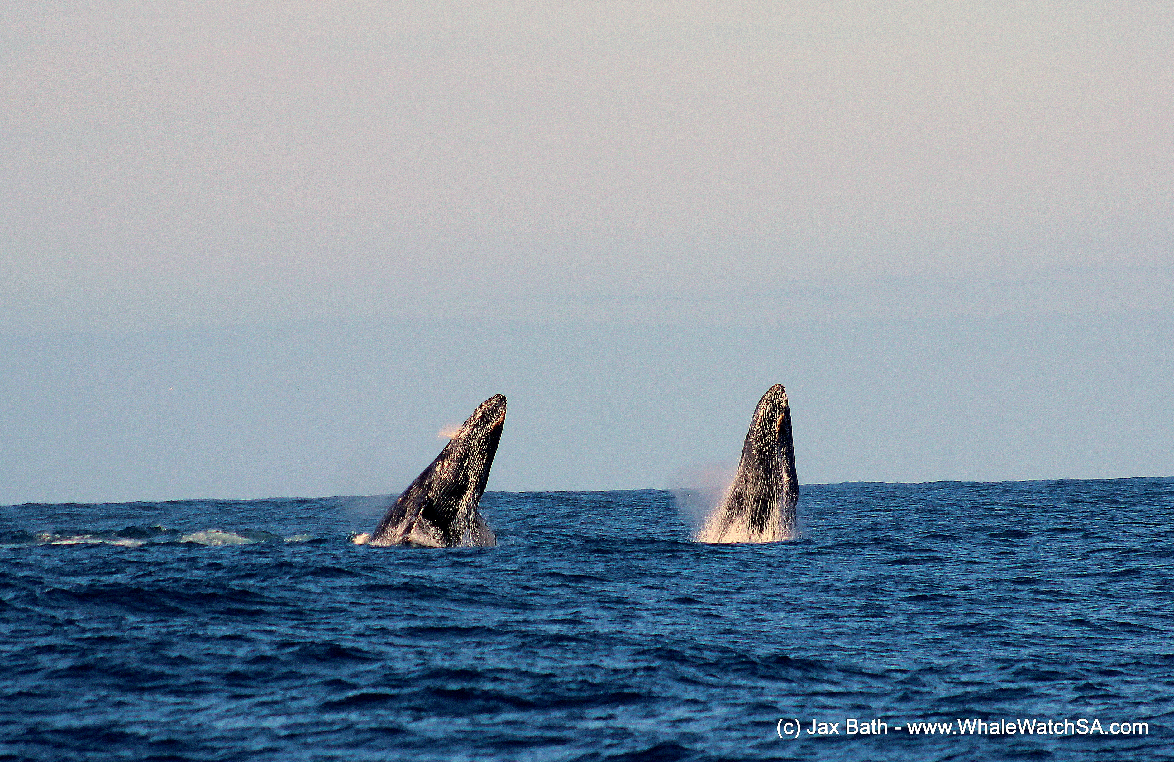 Whale wonderland: Humpback whales return