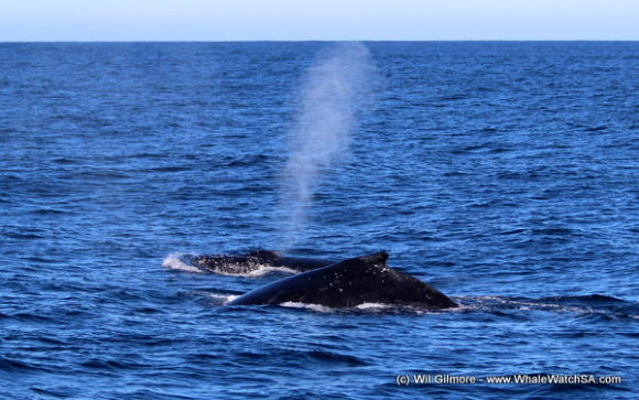 Boat Based Whale Watching Tours Cape Town (11)