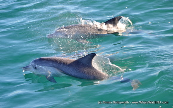 Boat Based Whale Watching Tours Cape Town (12)