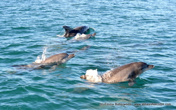 Boat Based Whale Watching Tours Cape Town (13)