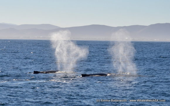 Boat Based Whale Watching Tours Cape Town (2)