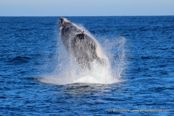 Boat Based Whale Watching Tours Cape Town (6)