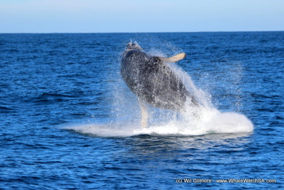 Boat Based Whale Watching Tours Cape Town (7)