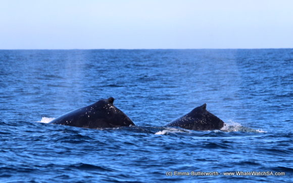 Boat Based Whale Watching Tours Cape Town (8)