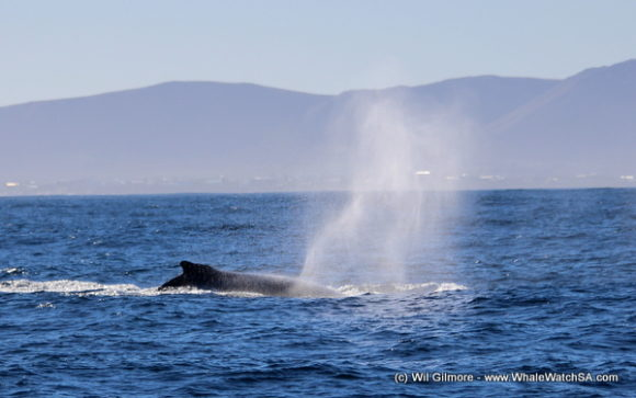 Boat Based Whale Watching Tours Cape Town (9)