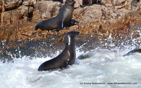 Boat Based Whale Watching Tours South Africa (14)