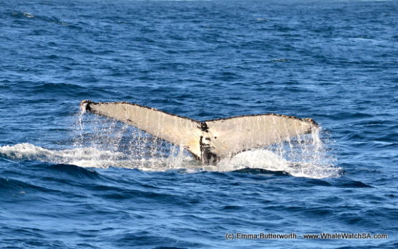 Boat Based Whale Watching Tours South Africa (4)