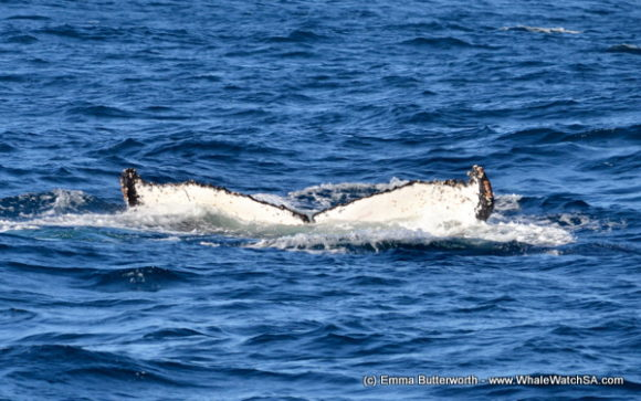 Boat Based Whale Watching Tours South Africa (6)