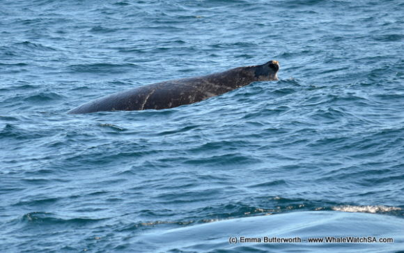 Boat Based Whale Watching Tours South Africa (9)