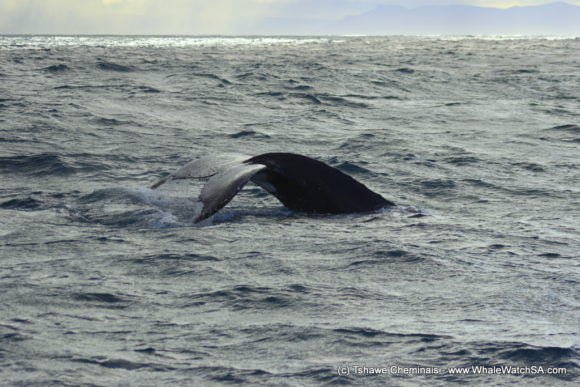 Boat Based whale Watching Tours South Africa Western Cape (1)
