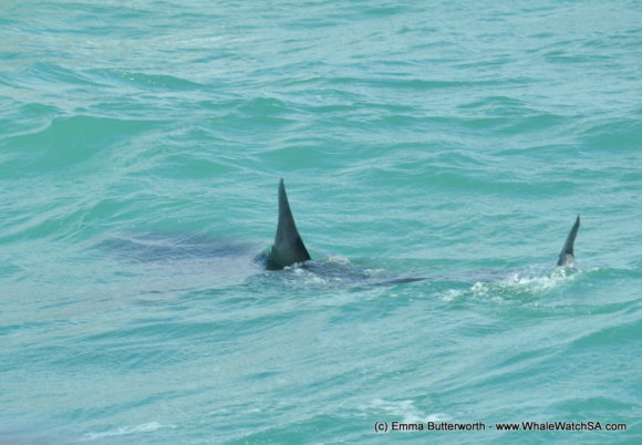 Boat Based whale Watching Tours South Africa Western Cape (2)