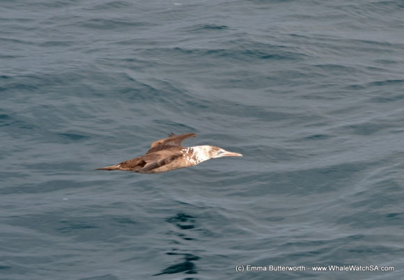 Boat Based whale Watching Tours South Africa Western Cape (4)