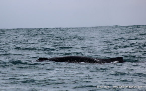 Whale Watching Boat Based Tours Hermanus (14)