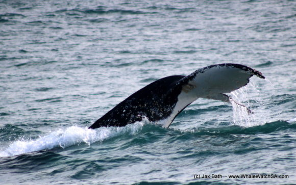 Whale Watching Boat Based Tours Hermanus (15)