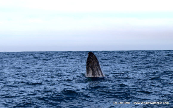 Whale Watching Boat Based Tours Hermanus (6)