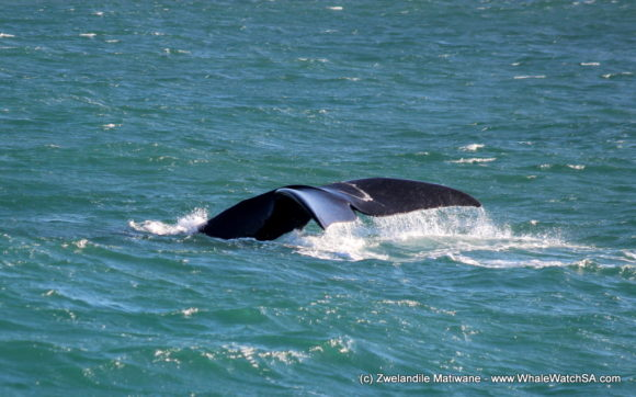 Whale Watching Eco Tours Cape Town Gansbaai (10)