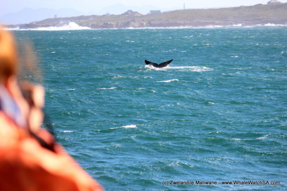 Whale Watching Eco Tours Cape Town Gansbaai (12)