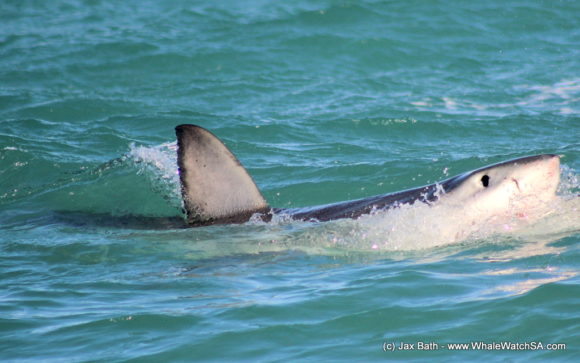 Whale Watching Eco Tours Cape Town Gansbaai (14)
