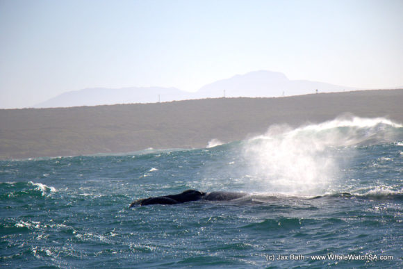 Whale Watching Eco Tours Cape Town Gansbaai (3)