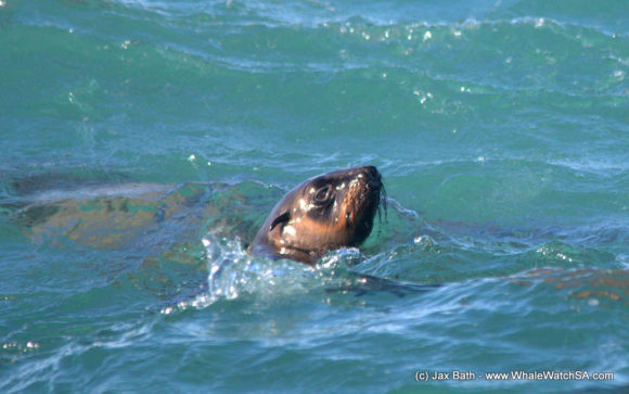 Whale Watching Eco Tours Cape Town Gansbaai (6)