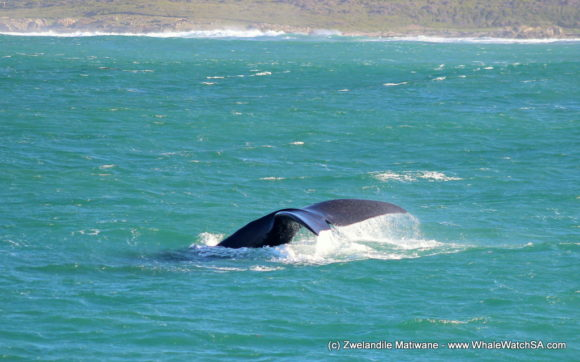 Whale Watching Eco Tours Cape Town Gansbaai (7)