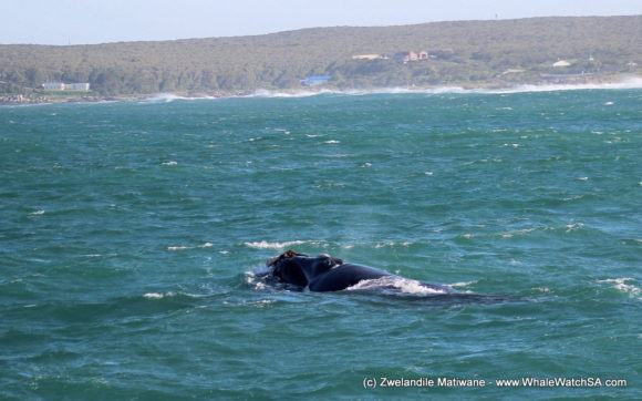 Whale Watching Eco Tours Cape Town Gansbaai (8)