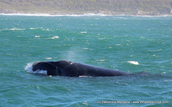 Whale Watching Eco Tours Cape Town Gansbaai (9)