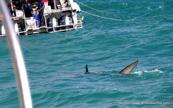 Whale watching South Africa Boat Based Tours (2)